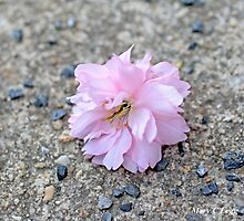Fallen cherry blossom by pogomcl