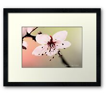 Transparent pink  cherry blossoms Framed Print