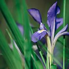 Wild Iris by Phillip M. Burrow