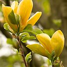 Sunny Magnolias by ElyseFradkin