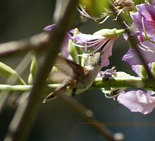 Sweetness of Spring; Hummingbird; Neff Park, La Mirada, CA USA by leih2008