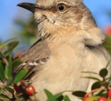 Mockingbird and Yaupon Sticker