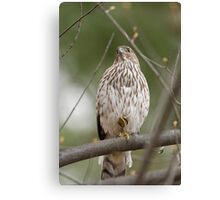 Coopers Hawk on Guard Canvas Print
