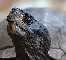 Tortoise by William C. Gladish