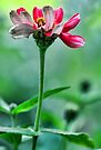 A Red Potted Zinnia - Bridgton,  Maine by T.J. Martin