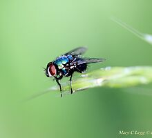 Sarcophaga carnaria, red-eyed fly by pogomcl