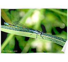 Male Azure Damselfly coenagrion puella on blade of grass covered with raindrops Poster