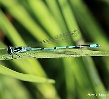 Male Azure Damselfly coenagrion puella on blade of grass by pogomcl