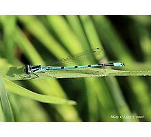Male Azure Damselfly coenagrion puella on blade of grass Photographic Print
