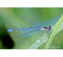 Male Azure Damselfly  coenagrion puella Photographic Print