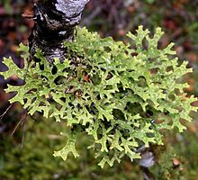 Green lichen at Waldheim, Cradle Mountain, Tasmania, Australia. by kaysharp