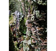 Fan shaped Fungi, Waldheim, Cradle Mountain, Australia. Photographic Print
