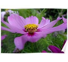 Tuesday Cosmos in Purple & PInk Poster