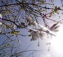 cherry blossoms in the sun by Dawna Morton