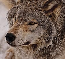 What Big eyes you have Grandma!!  - Timberwolf  by Tracey  Dryka
