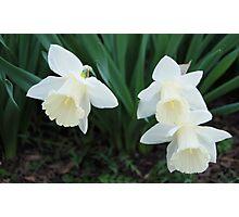 Three White Daffodils Photographic Print