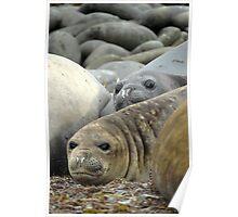 Sea Lions Falklands Poster