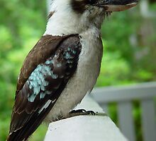 Kookaburra by TimJ