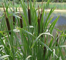 Cat Tails by Kenneth Hoffman