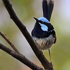 Blue Fairy Wren by Ann  Van Breemen