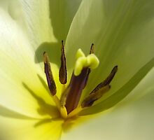 tulipa by millymuso