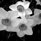 Daffodils by Rusty Katchmer