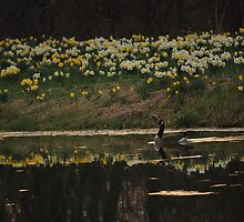 Daffodil Reflections by mnkreations