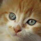 Blue Eyed Kitten by Gabrielle  Lees