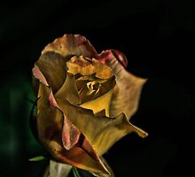Love and Peace - Hybrid Tea Rose, my garden by Tracey  Dryka