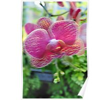 Pink Orchid Poster