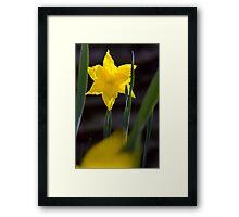 Daffodil in the Garden Framed Print