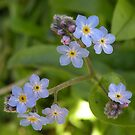 Forget me not...... by supernan
