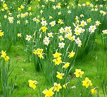 Spring Daffs by BeauxButtons