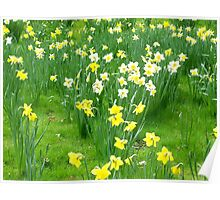 Spring Daffs Poster