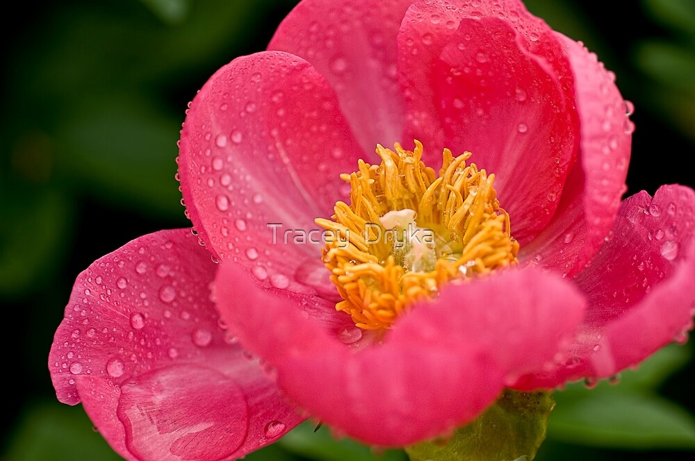 Pink Peony - Central Experimental Farm, Ottawa by Tracey  Dryka