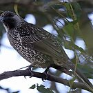 Brush Wattlebird by triciaoshea