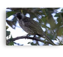 Brush Wattlebird Canvas Print