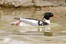 Red-Breasted Merganser (male) by Todd Weeks