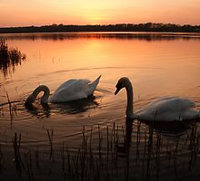 Swans at sunset by Squawk