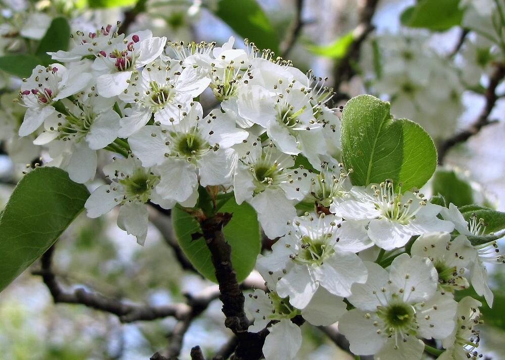 Spring Glory by Sviatlana