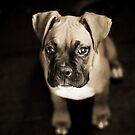 Boxer pup by Bec  Brindley