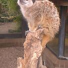 Meerkat by Maltie