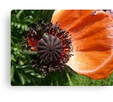 Almost withered Poppy Canvas Print