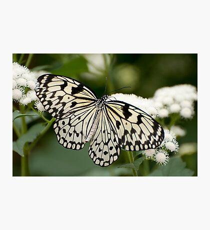 Paper Kite Butterfly - Idea leuconoe Photographic Print