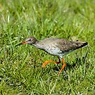 Hunting Redshank by Robert Abraham