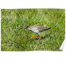 Hunting Redshank Poster
