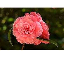 Pink Camellia Photographic Print