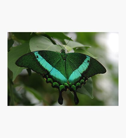 Emerald Swallowtail Photographic Print