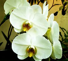 Cream Orchids by Rachel Sinisi
