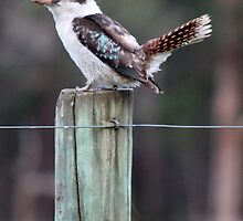 The Laughing Kookaburra by Artimagery